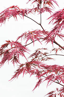 Photograph - Acer Palmatum Fissectum Firecracker Foliage by Tim Gainey