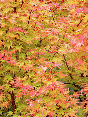 Photograph - Acer Palmatum by Nicholas Blackwell