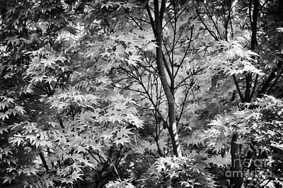 Acer Palmatum Photograph - Acer Palmatum Sango Kaku Tree  by Tim Gainey