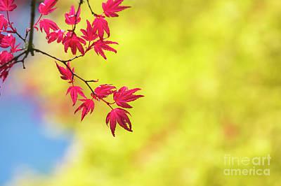 Photograph - Acer Palmatum Shin Chishio by Tim Gainey