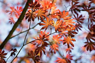 Photograph - Acer Palmatum Trompenburg by Tim Gainey