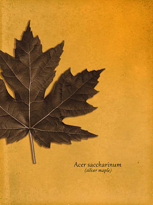 Tree Roses Photograph - Acer Saccharinum by Mark Rogan