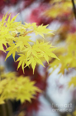 Photograph - Acer Sango Kaku by Tim Gainey