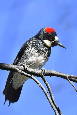 Photograph - Acorn Woodpecker Close by Alan Lenk
