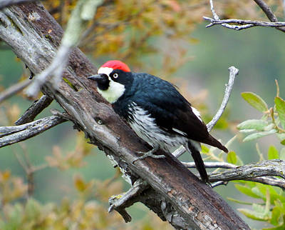 Photograph - Acorn Woodpecker by Kurt Van Wagner