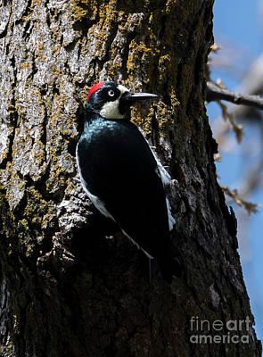 Woodpecker Wall Art - Photograph - Acorn Woodpecker by Mike Dawson