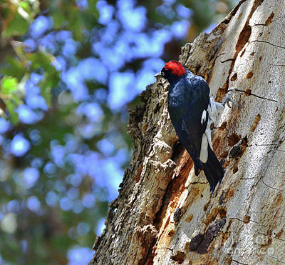 Photograph - Acorn Woodpecker On The Oak by Debby Pueschel
