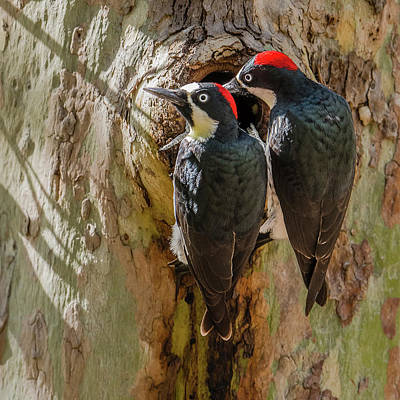 Madera Canyon Photograph - Acorn Woodpecker Pair by Morris Finkelstein