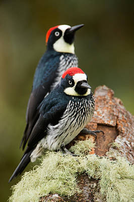 Woodpeckers Photograph - Acorn Woodpeckers Melanerpes by Panoramic Images