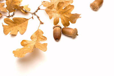 Renewing Photograph - Acorns And Oak Leaves by Utah Images