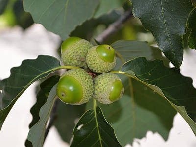 Photograph - Acorns - Chestnut Oak Quercus Prinus by rd Erickson