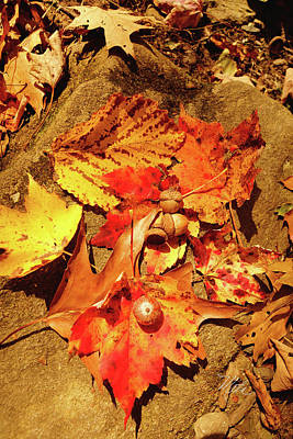 Print featuring the photograph Acorns Fall Maple Leaf by Meta Gatschenberger