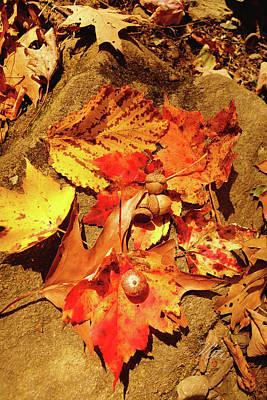 Art Print featuring the photograph Acorns Fall Maple Leaf by Meta Gatschenberger