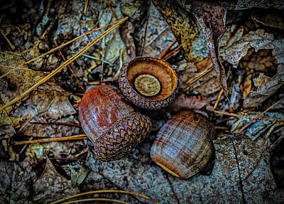 Photograph - Acorns by Lilia D