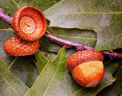 Photograph - Acorns On Oak Leaves by Peg Runyan