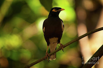 Common Myna Photograph - Acridotheres Tristis by Venura Herath
