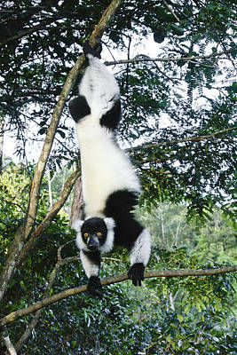 Photograph - Acrobatic Lemur by Michele Burgess