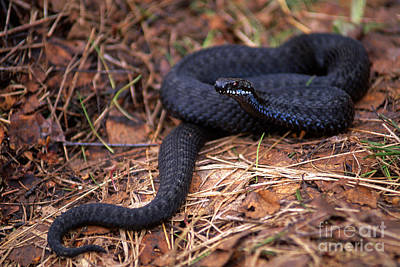 Forest Floor Photograph - Adder On The Forest Floor by Sverre Andreas Fekjan
