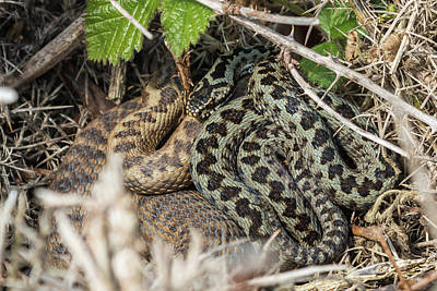 Photograph - Adder Pair by Wendy Cooper