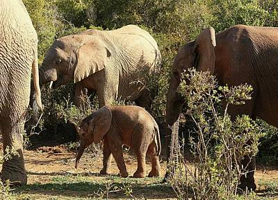 Photograph - Addo Elephant Family by Jennifer Wheatley Wolf