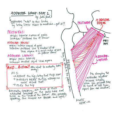 Drawing - Adductor Group Part 1 by Julie Read