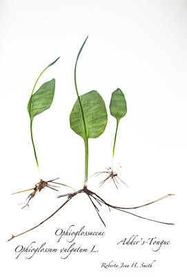 Photograph - Adder'stongue by Roberta Jean Smith