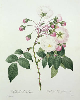 Rose Drawing - Adelia Aurelianensis by Pierre Joseph Redoute