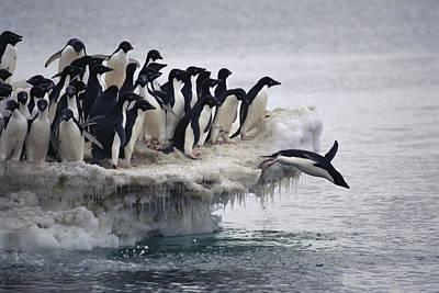 Antarctic Ocean Photograph - Adelie Penguin Pygoscelis Adeliae by Tui De Roy