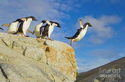 Photograph - Adelie Penguins Jumping by Yva Momatiuk John Eastcott