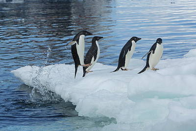 Photograph - Adelie Penguins On Iceberg by Bruce J Robinson
