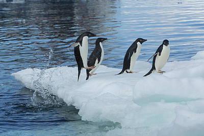 Photograph - Adelie Penguins On Iceberg by Bruce J Robinson