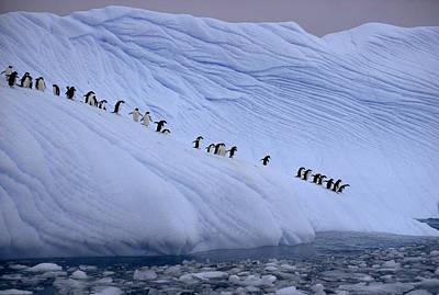 Adelie Penguins Totter Single File Art Print by Des &Amp Jen Bartlett
