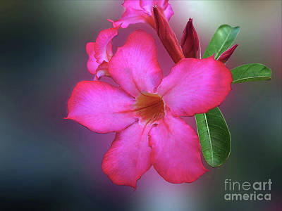 Photograph - Adenium Flower  by Charuhas Images