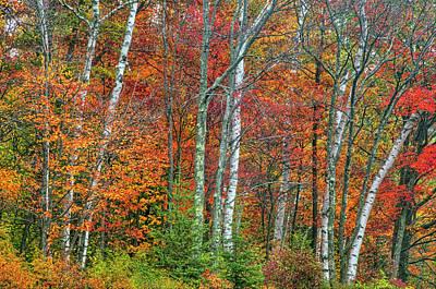 Edward Hopper - Adirondack Birches in Autumn by Tony Beaver