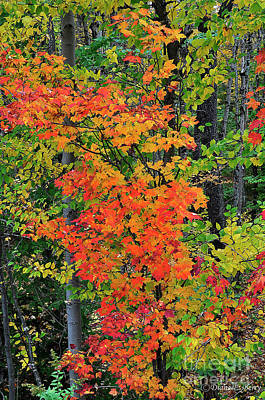 Photograph - Adirondack Crimson by Diane E Berry