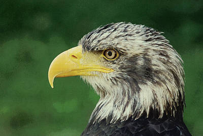 Painting - Adler Bald Eagle by Adam Asar