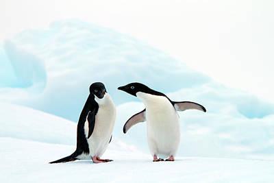 Adélie Penguins Print by Angelika Stern