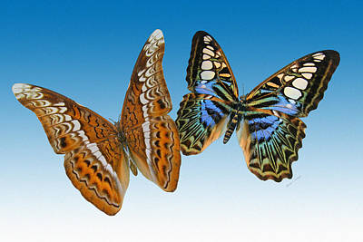 Flutter Digital Art - Admiral And Clipper Butterfly by Betsy Knapp