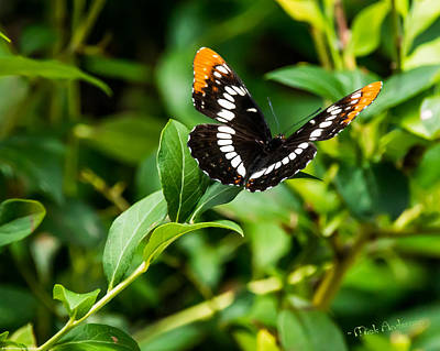 Photograph - Admiral Butterfly At Rest by Mick Anderson