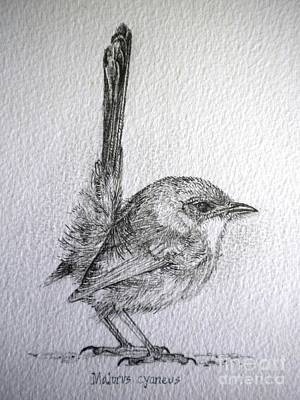 Drawing - Adolescent Blue Wren by Sandra Phryce-Jones
