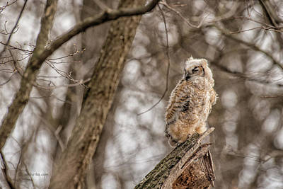Photograph - Adolescent Owl 07.... by Paul Vitko