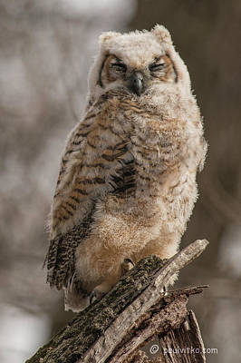 Photograph - Adolescent Owl 08.... by Paul Vitko