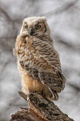 Photograph - Adolescent Owl 09.... by Paul Vitko