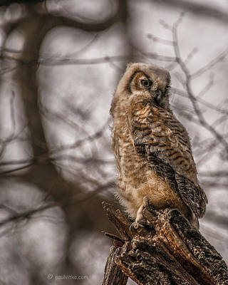 Photograph - Adolescent Owl 10.... by Paul Vitko