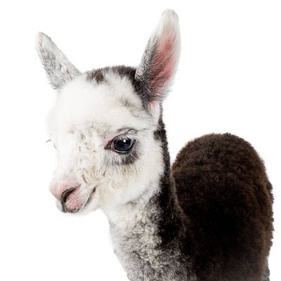 Ranch Life Photograph - Adorable Baby Alpaca Cuteness by TC Morgan
