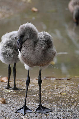 Photograph - Adorable Baby Flamingo With A Big Beak  by DejaVu Designs