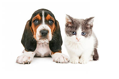 Adorable Basset Hound Puppy And Kitten Sitting Together Print by Susan Schmitz