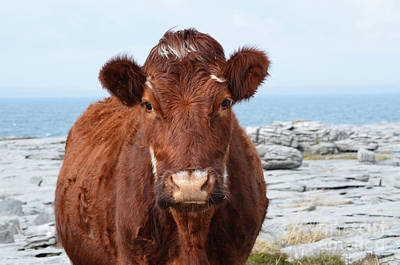 Photograph - Adorable Brown Cow Standing On The Burren by DejaVu Designs