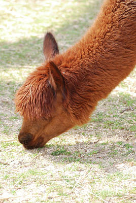 Photograph - Adorable Brown Llama Grazing On Grass In A Farm by DejaVu Designs