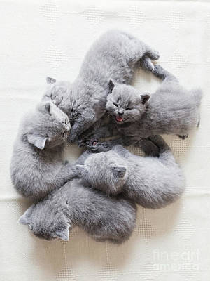 Photograph - Adorable Cats Laying Together. British Shorthair. by Michal Bednarek